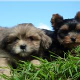 Photo de chiens de l'élevage Elevage de Kerdilès