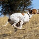 Photo de chiens de l'élevage DE LA SAUVIGNERE