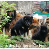 Photo de Eurasier de l'élevage Elevage des crinières de feu