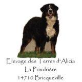 Photo de Bouvier bernois de l'élevage Elevage des Terres d'Alicia