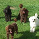Photo de chiens de l'élevage Elevage du bontemps