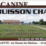 Photo de Berger allemand de l'élevage Elevage du Buisson Chardin