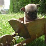 Photo de Chihuahua de l'élevage Elevage du Château Fraye