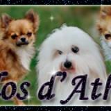 Photo de chiens de l'élevage Elevage du Clos d Athena