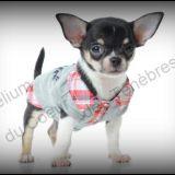 Photo de Chihuahua de l'élevage ELEVAGE DU COEUR DES TENEBRES