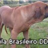 Photo de Fila brasileiro de l'élevage ELEVAGE DU DOMAINE D'EN BAS
