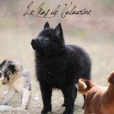 Photo de chiens de l'élevage Elevage du Mas de valaurine