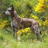 Photo de chiens de l'élevage Elevage du Rocher des Ducs - Berger Hollandais 06 PACA