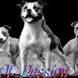 Photo de American Staffordshire Terrier de l'élevage Elevage Of Passion Amstaff
