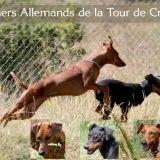 Photo de Pinscher de l'élevage Elevage Pinschers Allemands De la Tour de Cruzières