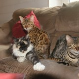 Photo de chats de l'élevage Elevage du Tchatchatcha