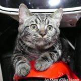 Photo de chats de l'élevage Les Khans d'Ellan Vannin