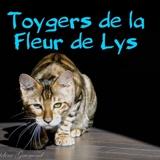 Photo de Toyger de l'élevage Toygers Fleur de Lys