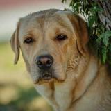 Photo de Labrador Retriever de l'élevage Les Plaines D'Asgard