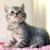 Photo de Selkirk Rex de l'élevage Epicurean'cats