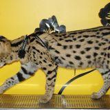 Photo de Savannah de l'élevage Feline Beauty