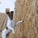 Photo de Fox-Terrier de l'élevage élevage de fox-terriers du Castel des Près