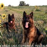Photo de Berger allemand de l'élevage Elevage des Côteaux Tolosans