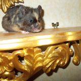 Photo de Hamster de l'élevage Hamister