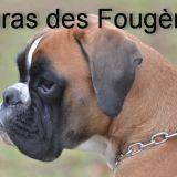 Photo de Boxer de l'élevage HARAS des FOUGERES