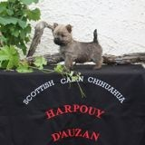 Photo de chiens de l'élevage Harpouy d' Auzan Cairn Terrier