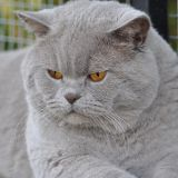 Photo de British Shorthair de l'élevage HOLLY CAT'S