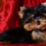 Photo de Yorkshire Terrier de l'élevage Elevage of Meadow Cottage