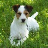 Photo de Jack Russell Terrier de l'élevage DE LA PINKINERIE