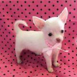 Photo de Chihuahua de l'élevage Juves