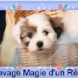 Photo de Coton de Tuléar de l'élevage Élevage Magie d'un Rêve