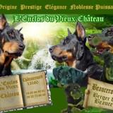 Photo de Beauceron de l'élevage A Beaucerons de L'ENCLOS DU VIEUX CHATEAU