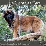 Photo de Leonberger de l'élevage La Comté de Fara