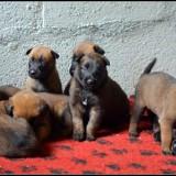 Photo de chiens de l'élevage LA VALLEE CAID