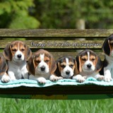 Photo de Beagle de l'élevage Elevage de la vallée des trappeurs