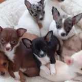 Photo de Chihuahua de l'élevage Elevage labelisa