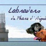 Photo de Labrador Retriever de l'élevage Labradors du Phare d'Aiguillon