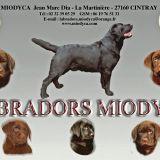 Photo de Labrador Retriever de l'élevage LABRADORS MIODYCA