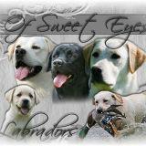 Photo de Labrador Retriever de l'élevage Labradors of Sweet Eyes