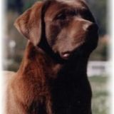 Photo de Labrador Retriever de l'élevage LABRADORS SARLADAIS