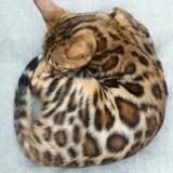 Photo de chats de l'élevage Le chat d'ô Retz