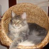 Photo de Maine Coon de l'élevage Le jardin des chats