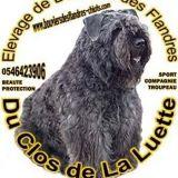 Photo de Bouvier des Flandres de l'élevage LES BOUVIERS DU CLOS DE LA LUETTE Sélectionné par la SCC et Club de Race