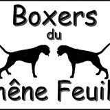Photo de Boxer de l'élevage Les Boxers du Chêne Feuillu