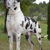 Photo de Dogue allemand de l'élevage LES JOYAUX D ALLYTHELIA