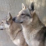 Photo de Chien-loup tchèque de l'élevage Les Loups des Plaines de Meyrans