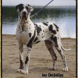 Photo de Dogue allemand de l'élevage Les Ombelles