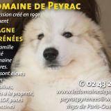 Photo de Chien de montagne des Pyrénées de l'élevage Les Patous du Domaine de Peyrac
