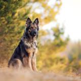 Photo de Berger allemand de l'élevage La Horde du Loup Gascon