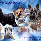 Photo de chiens de l'élevage LING DECHEN