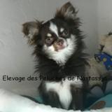 Photo de Chihuahua de l'élevage Elevage des Peluches de Nastassja